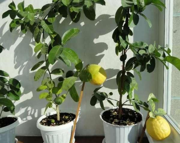 горшки с лимоном