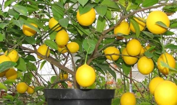 дерево лимонное