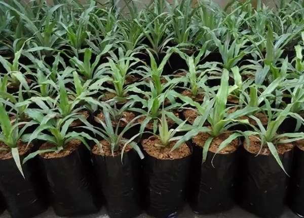 ростки ананаса