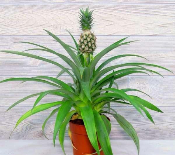 плодоносит ананас