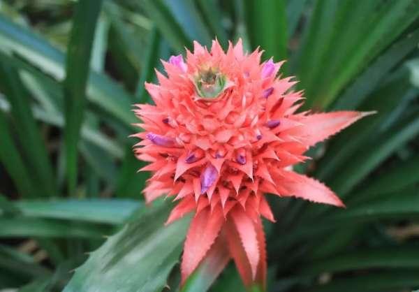 ананас цветок