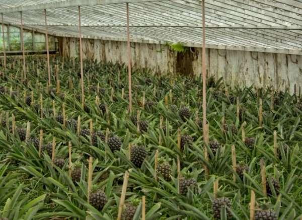 ананас в теплице