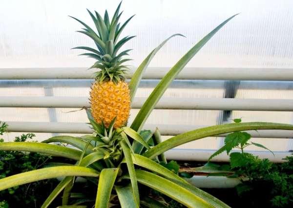 ананас в оранжерее