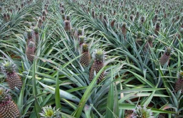 поле ананасов