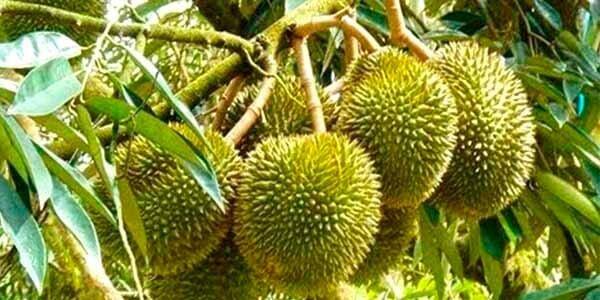 Дуриан фрукт, полезные свойства