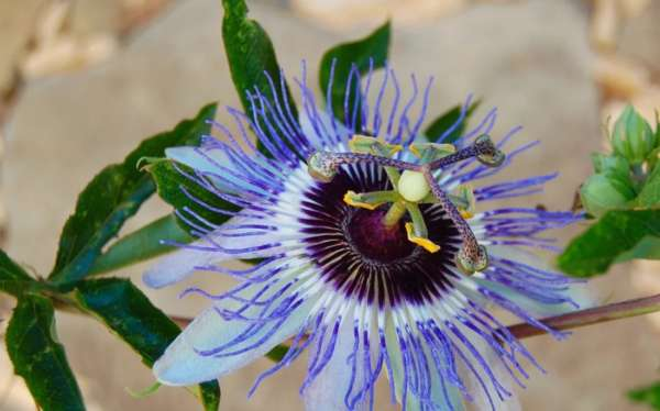 Цветок маракуйи