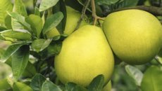 фрукт помело
