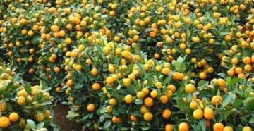 куст мандарина