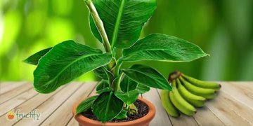 банановой дерево в горшке