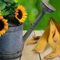 Банановая-кожура-удобрение