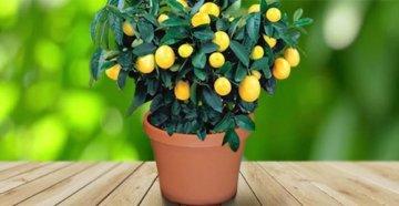 Лимонное дерево главная