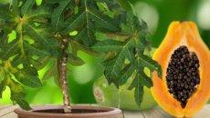 выращивание-папайя-в-домашних-условиях