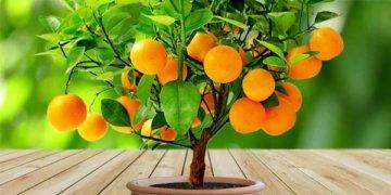 домашний-мандарин