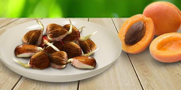 косточки-абрикоса-пророщеные