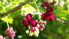 акебия-цветёт