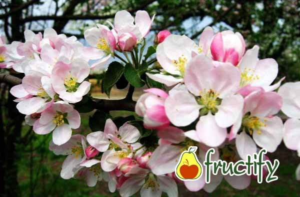 florina (6)