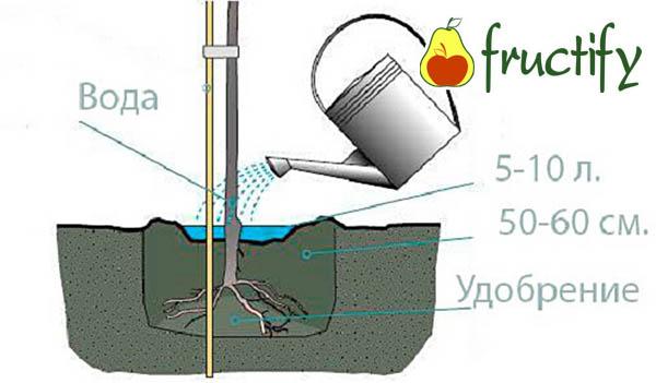 medunica (3)