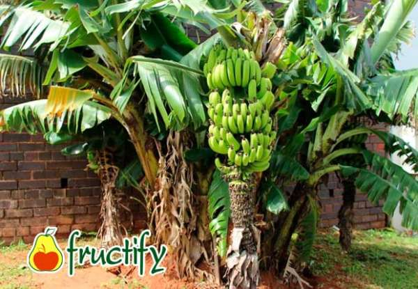 banankaloriyn (3)