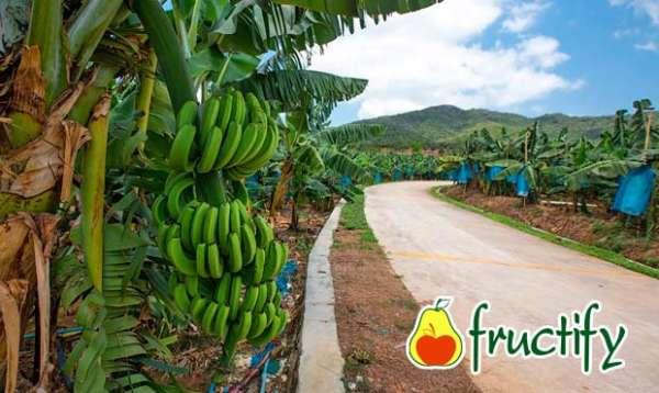 Bananalon (11)