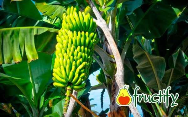 Bananalon (13)