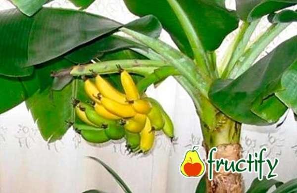 Bananalon (2)