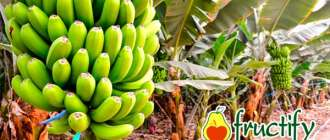 Bananalon (4)