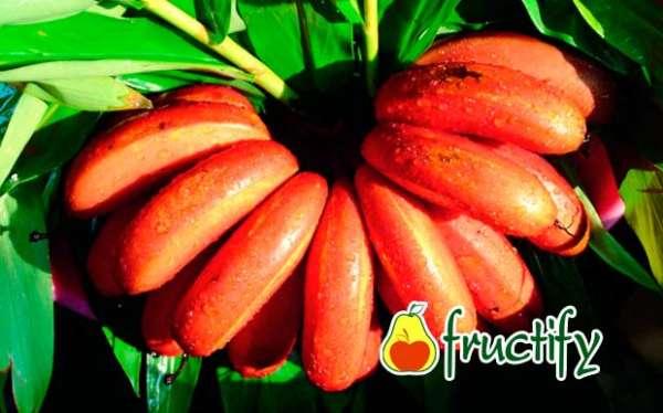 Bananalon (6)