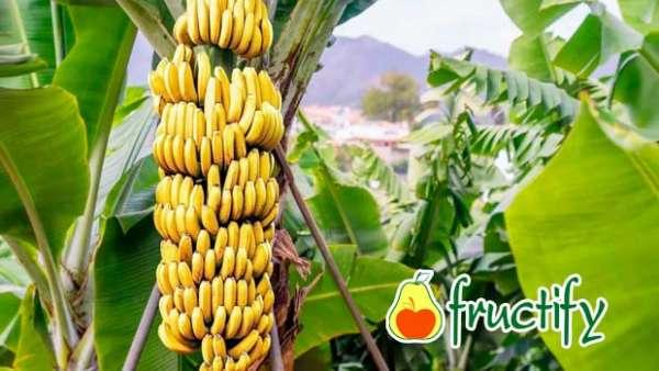 Bananalon (7)