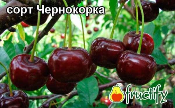 chernokorka