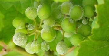 belyj nalet na vinograde (2)