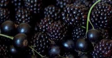 черные ягоды