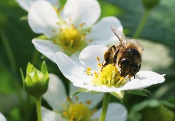 пчела опыляет