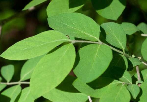 листья жимолости