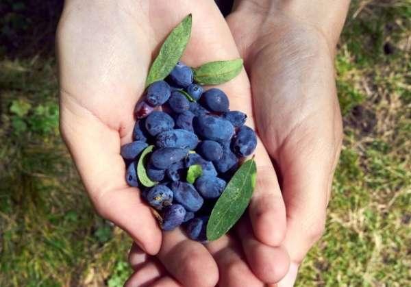 ягоды в руках