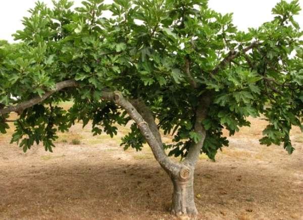 дерево инжира