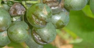 лопается виноград