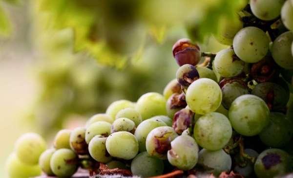 растрескивается виноград