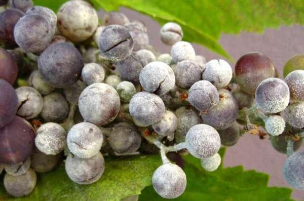 оидиум у винограда