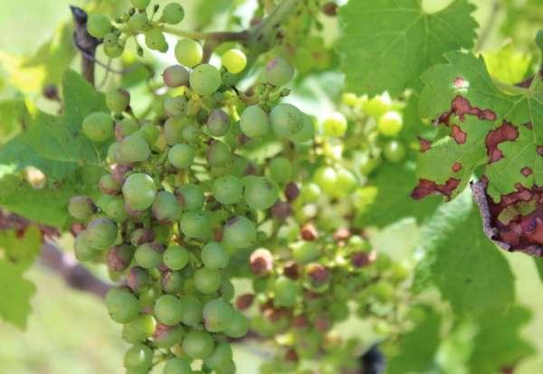 Антрактоз на винограде