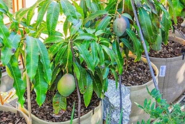 плодоносит авокадо