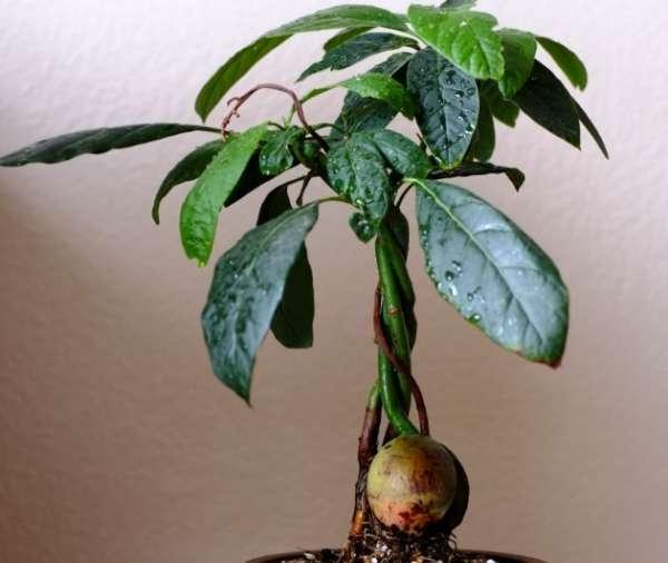 деревце авокадо