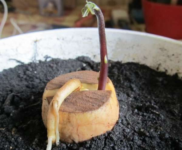 авокадо росток