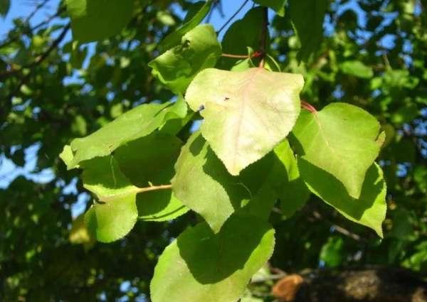 листья абрикоса