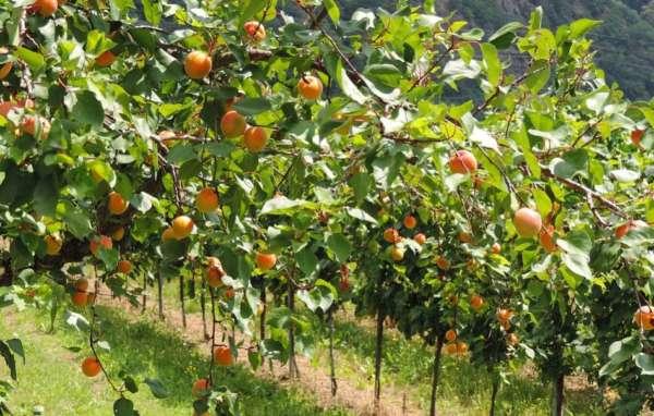 абрикосовый сад