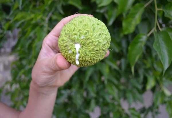 плод маклюры
