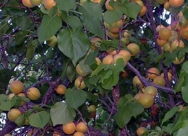 Как выглядит абрикос