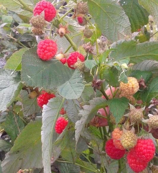 Почему ягоды малины белеют - причины, как избежать